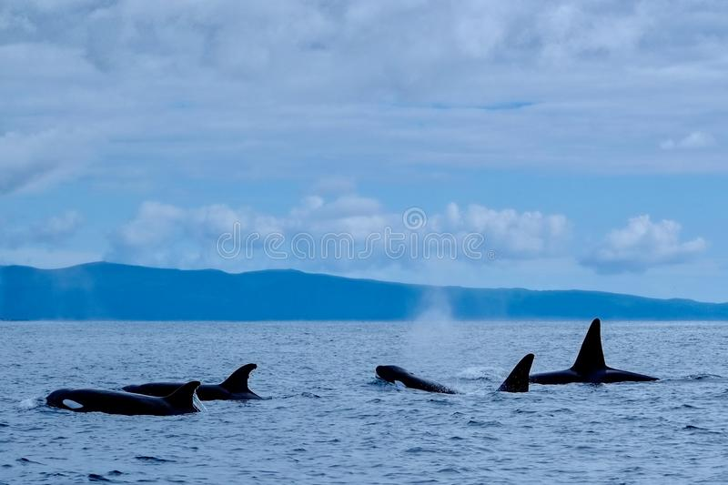 Orca family. A family of orcas in the Azores royalty free stock photography