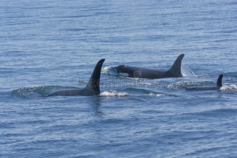 Orca Family Swimming in the Ocean. In Prince William Sound near Valdez, Alaska royalty free stock photos