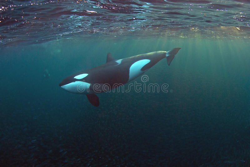 Orca in the Fjords of Norway royalty free stock images