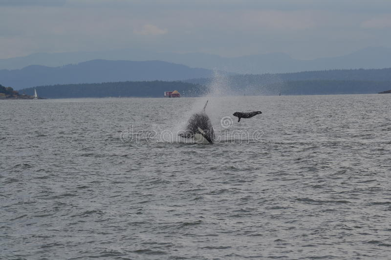 Orca on the hunt. We went on a boat trip from Vancouver and found a pack of Orcas on the hunt. What they were hunting was a mystery until one Orca flipped it's royalty free stock photography