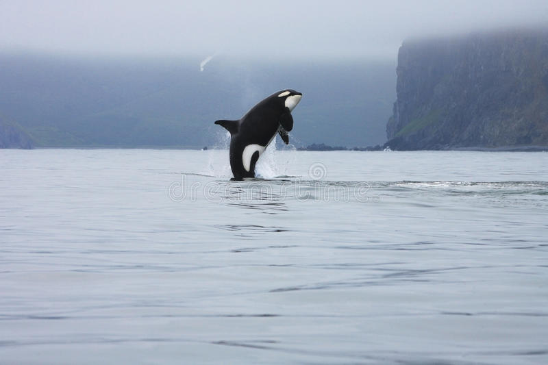 Orca jumping in the wild. Killer whale making high jump in the wild, Kamchatka, Russia