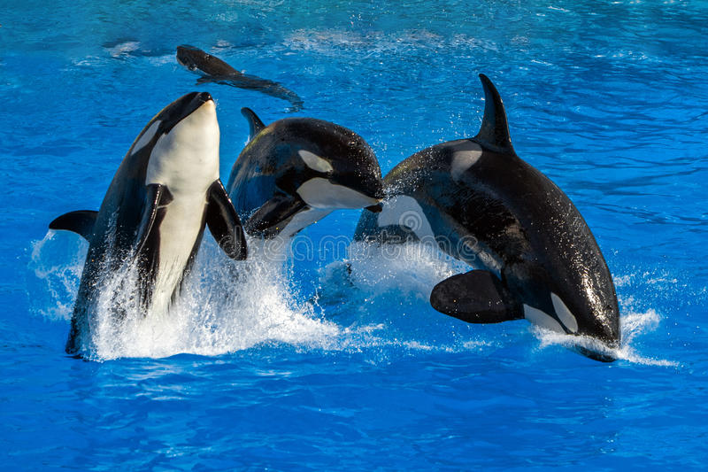 Orca killer whale while jumping. Outside the water stock photos