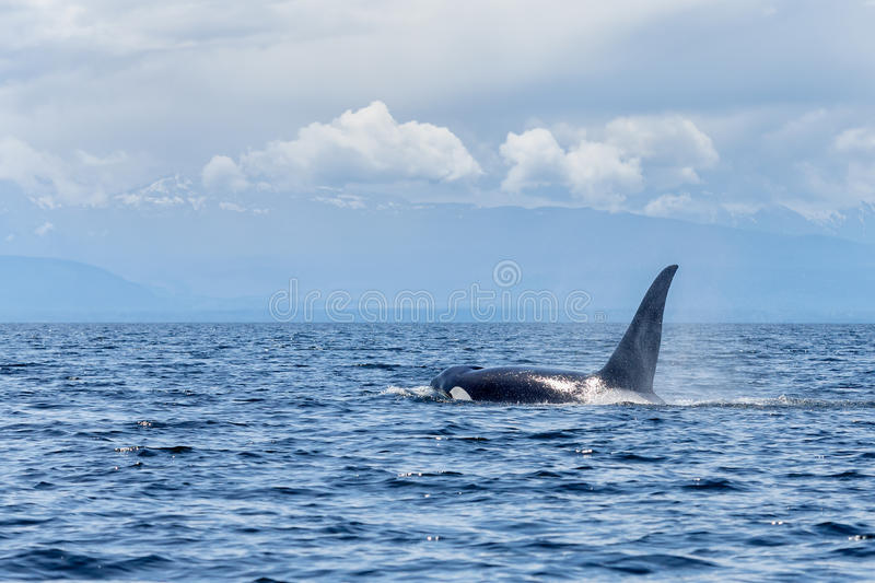 Orca or killer whale. Swimming at Lund Canada stock photos