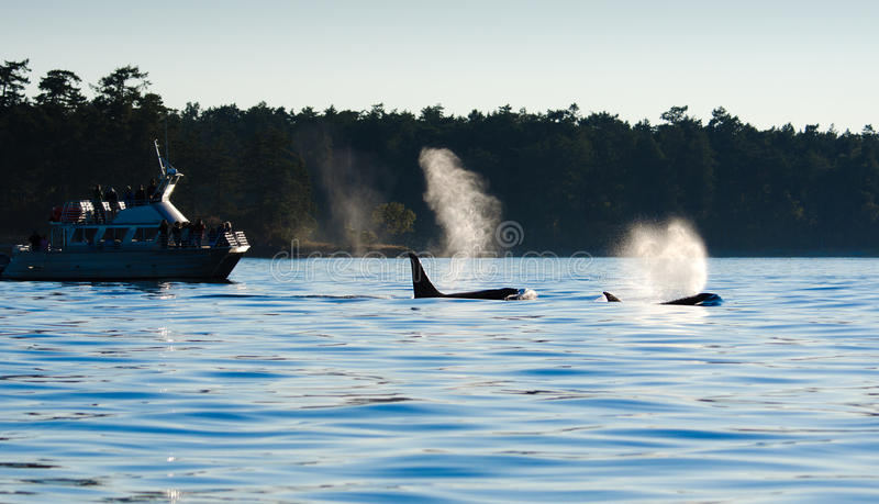 Orca Killer whales blowing, Whale Watchers. Evening silhouette. stock photos