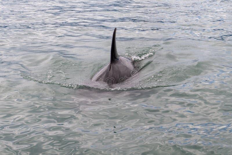Orca latino do Orcinus da baleia de assassino - mamífero marinho foto de stock