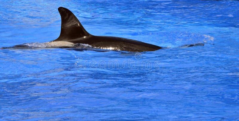 Orca latino do orcinus do nome da baleia de assassino imagem de stock royalty free