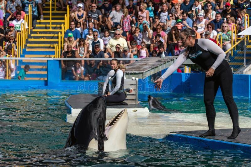 Orca at the Miami Seaquarium royalty free stock photos