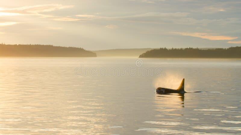 Orca no por do sol fotografia de stock royalty free
