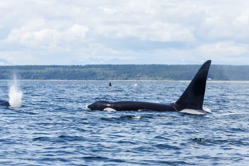 Download Orca o orca foto de archivo. Imagen de león, libertad - 41907232
