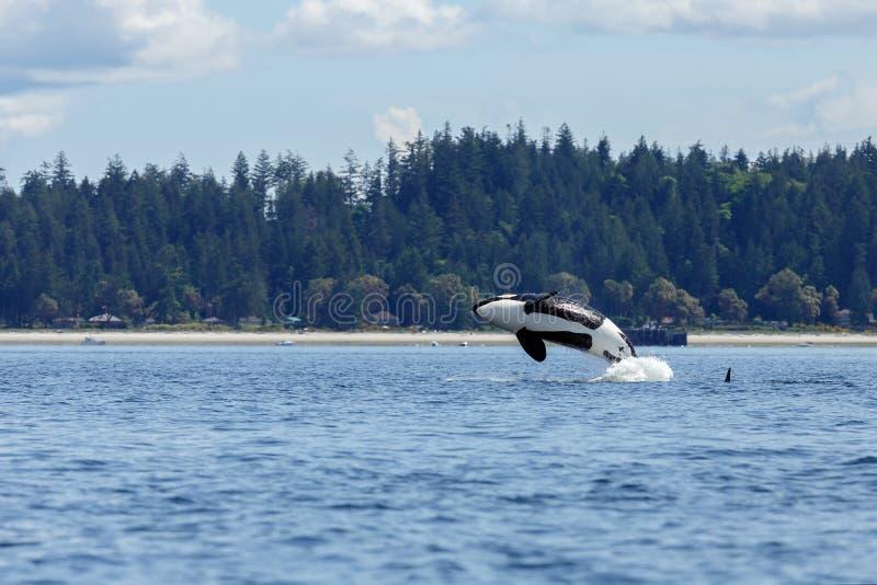 Download Orca o orca de salto imagen de archivo. Imagen de león - 41907415