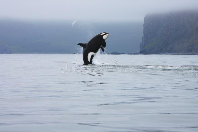 A orca que salta no selvagem imagem de stock