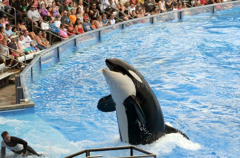 Orca at Sea World, Orlando stock image