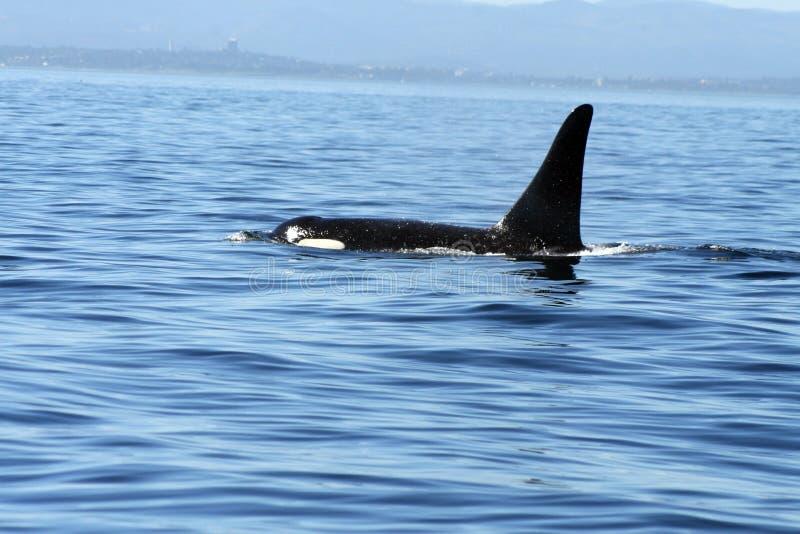 Orca selvaggia immagini stock