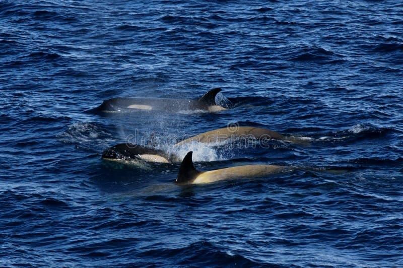 Orca selvaggia immagini stock libere da diritti