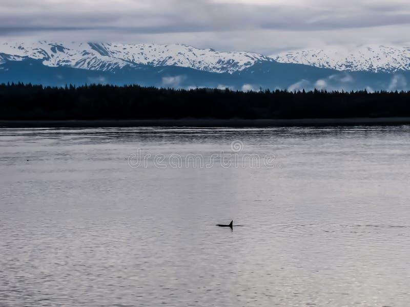 Orca selvaggia dell'orca in mare con le montagne innevate in BAC fotografia stock libera da diritti