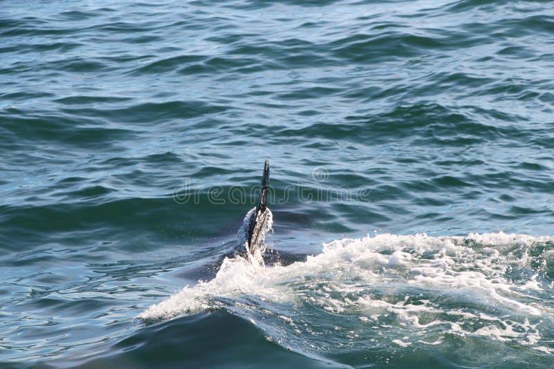 Orca sotto acqua, solo un'aletta sopra  fotografia stock