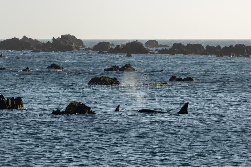 Orca searching rocks for prey. Orca swimming around Wellington New Zealand, part of family pod traveling the region stock photography