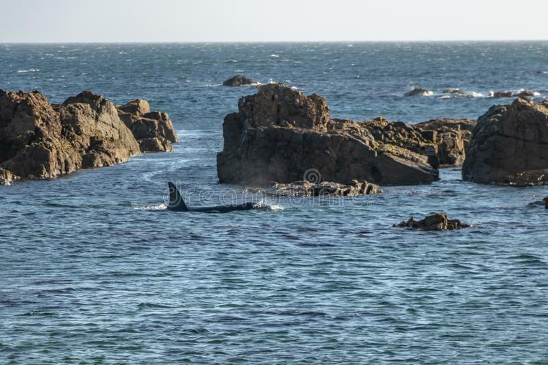 Two Orca Whales searching shallow rock pools. Orca swimming around Wellington New Zealand, part of family pod traveling the region stock photos