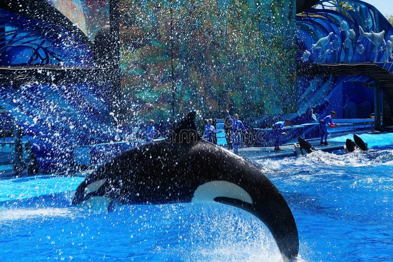 Orca swimming and jumping out of the water royalty free stock photography