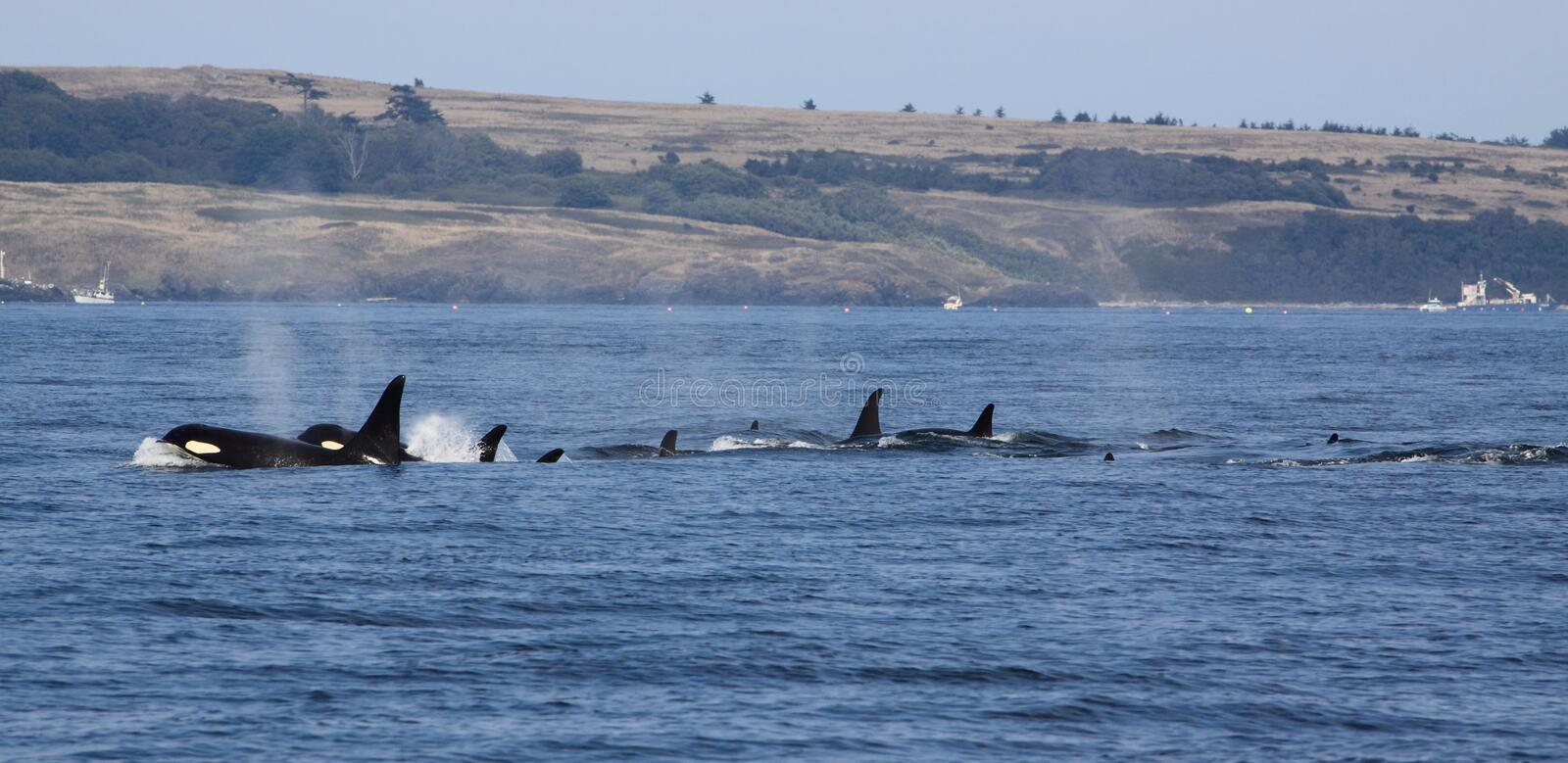 Orca whales royalty free stock images