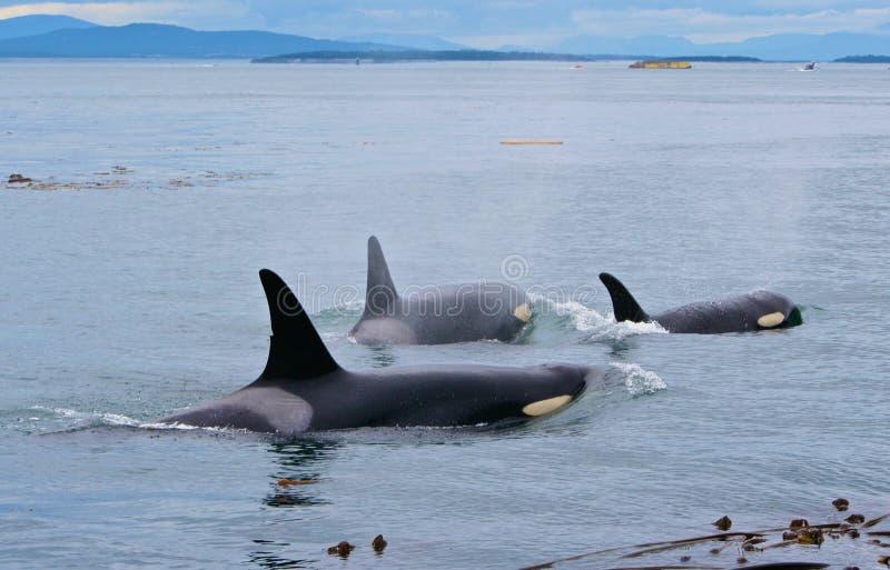 Orcas arkivbild