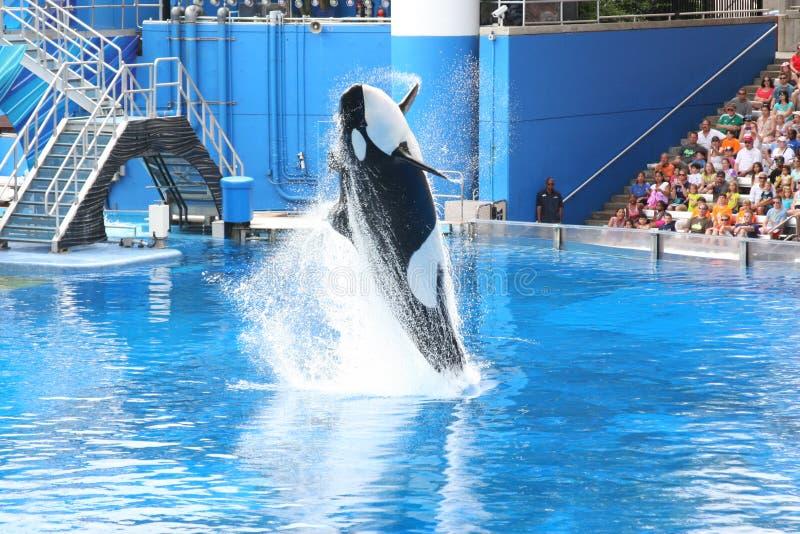 Orcas foto de archivo