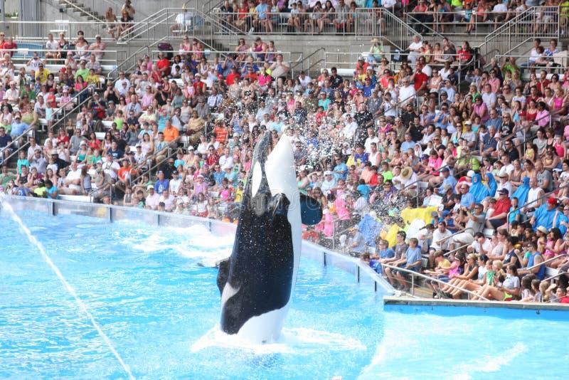 Orcas imagenes de archivo