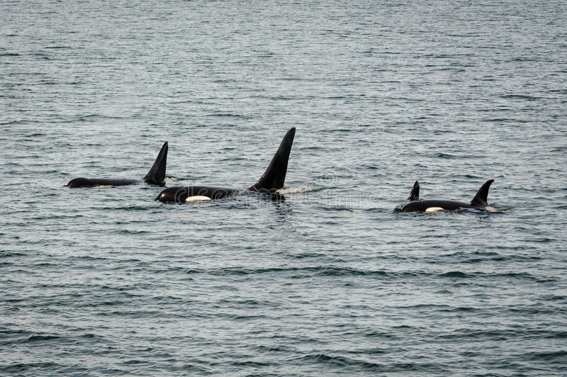 Orcas in Alaska royalty free stock photography