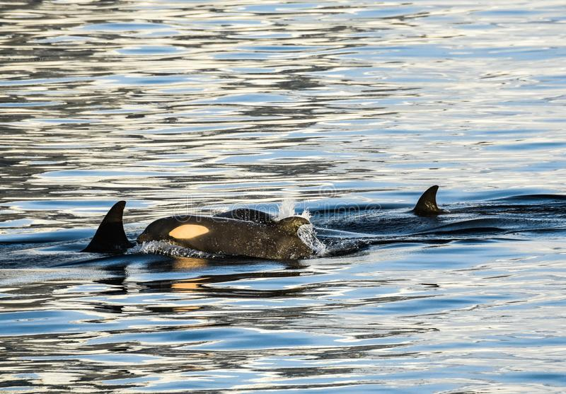 Orcas en la Antártida en invierno imagen de archivo libre de regalías