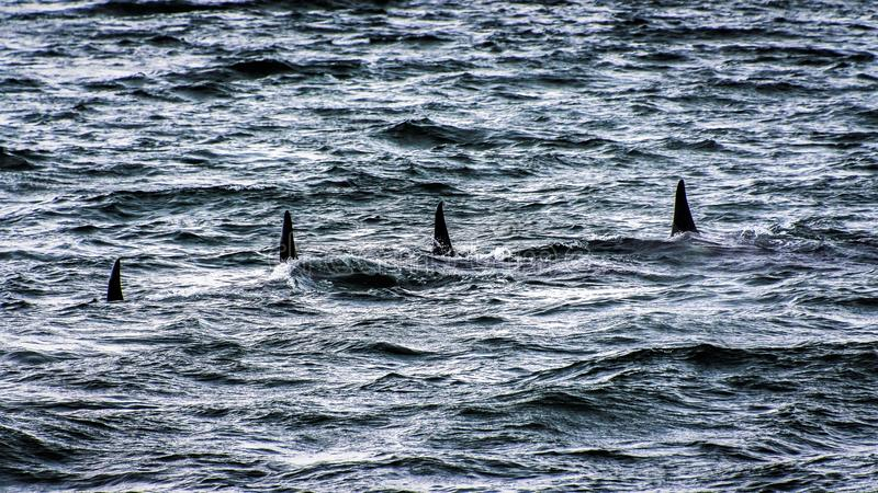 Orcas - Sea Gang royalty free stock images