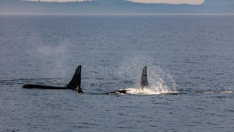 Orcas in the Strait royalty free stock photography