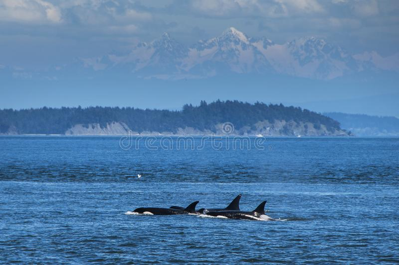 Orcas swimming in Vancouver. Three orcas swimming at the ocean