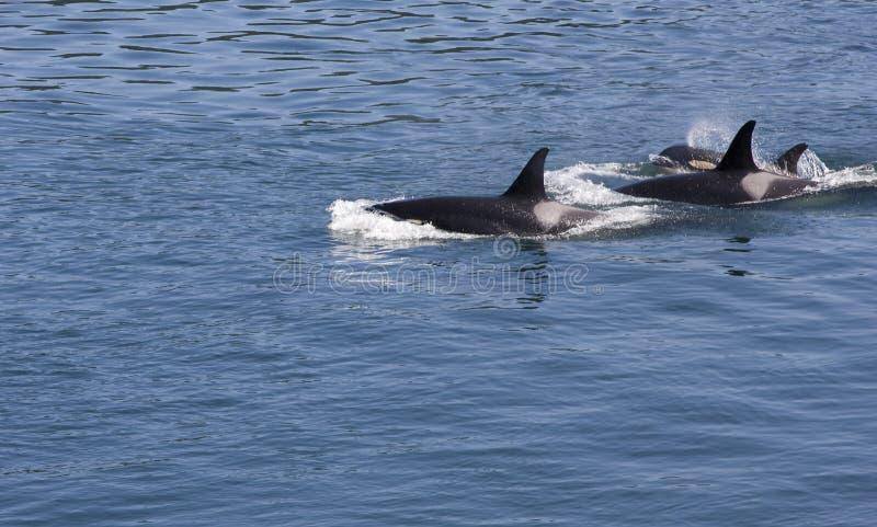 orcas tre arkivbilder