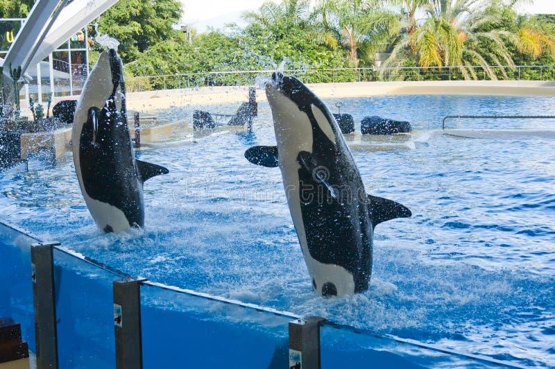 orcaval arkivbilder