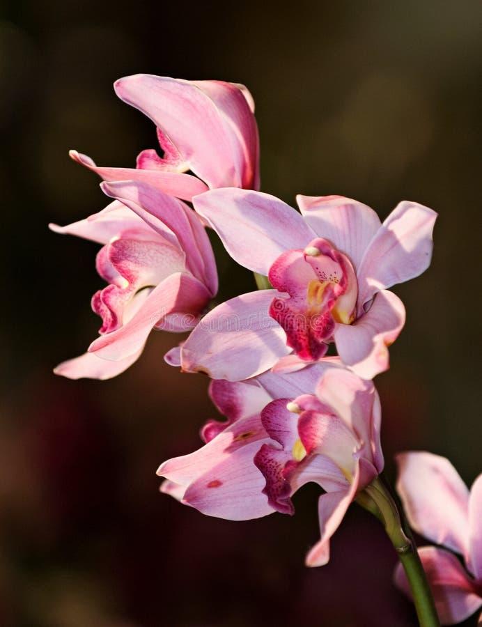Orchad cor-de-rosa imagem de stock royalty free