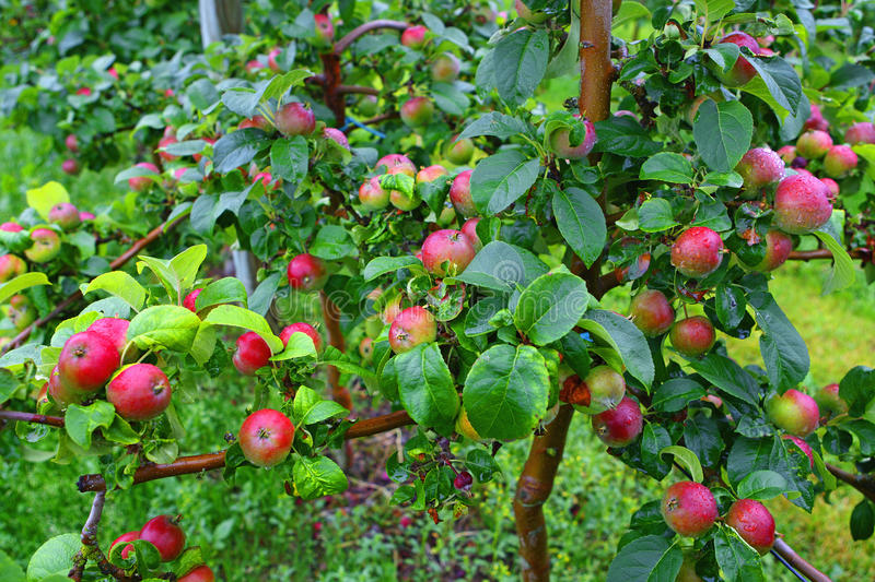 Orchard in Aland Islands. Red apples in orchard after rain in august in Aland Islands, Finland stock photography