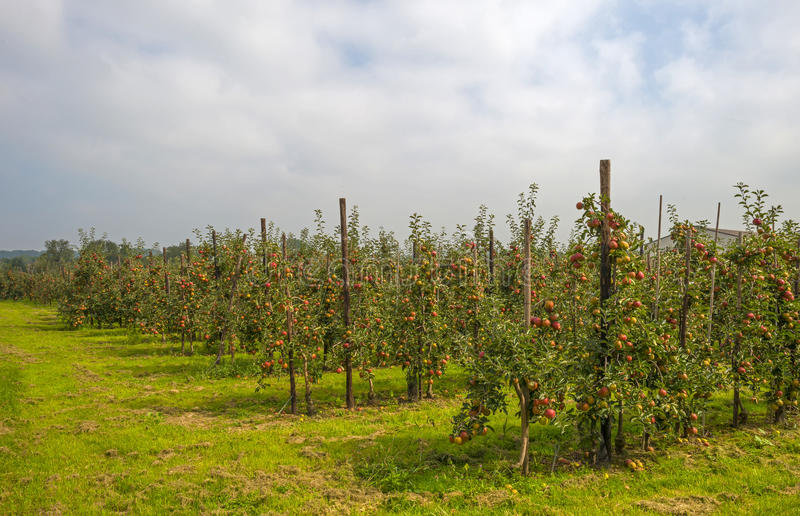 Orchard with apple trees in a field royalty free stock image