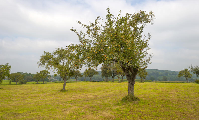 Orchard with apple trees in a field royalty free stock photos