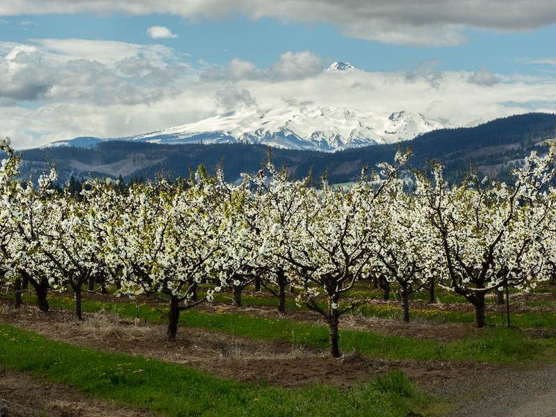 Orchard in bloom with Mt. Hood. Apple orchards bloom in spring at Hood River, Oregon with snow capped and cloud shrouded Mt. Hood in the distance stock photos