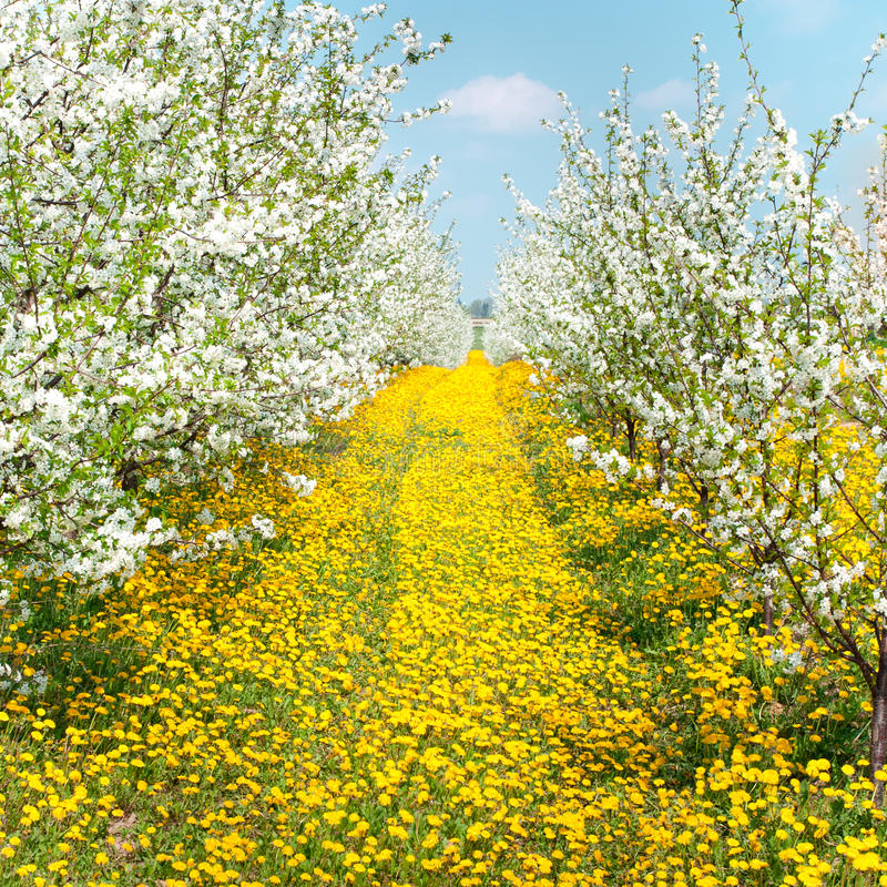 Orchard of blossoming cherry trees. And dandelions royalty free stock photography
