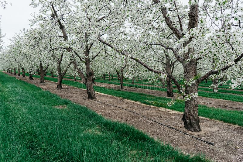 Orchard With Blossoming Trees Free Public Domain Cc0 Image