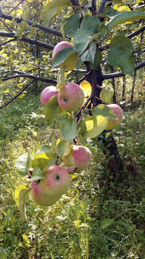 A branch of ripe, juicy apples. stock photos