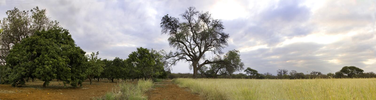 Download Orchard in the bushveld stock image. Image of nature - 13022801