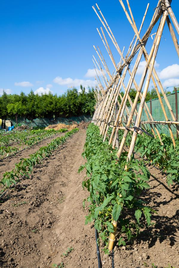 Orchard with cane structure for fresh tomato plants. Orchard with structure of canes for fresh tomato green plants stock photos