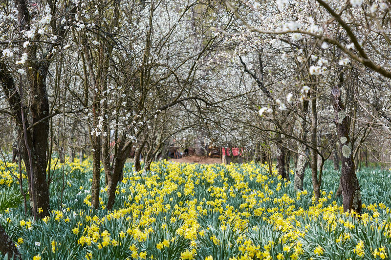 Orchard and daffodils field stock image