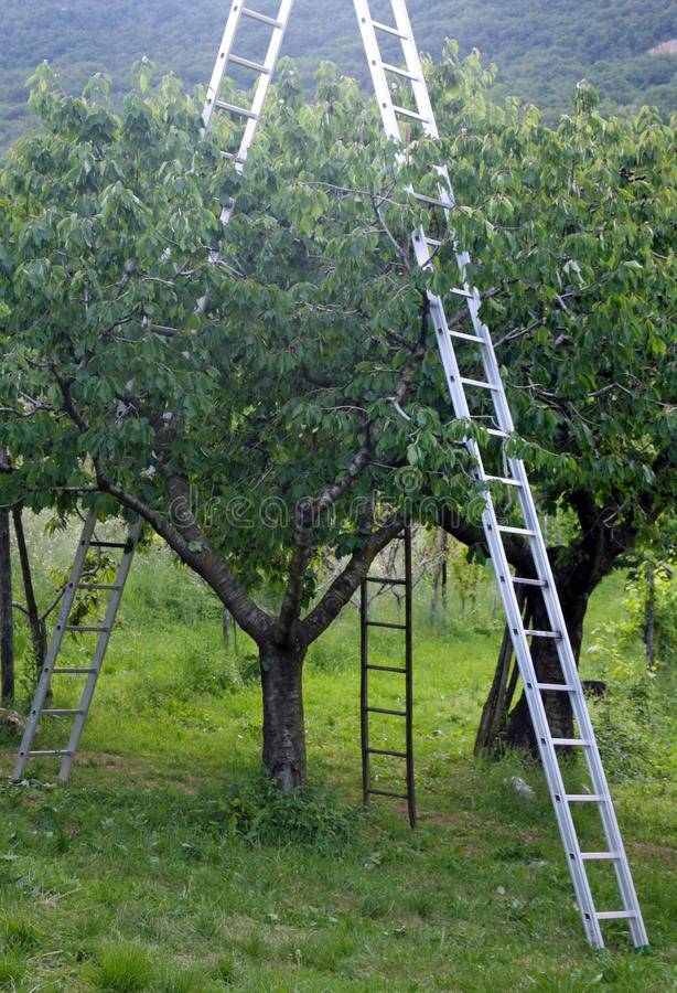 Cherry orchard ladder stock image  Image of orchards - 10720735