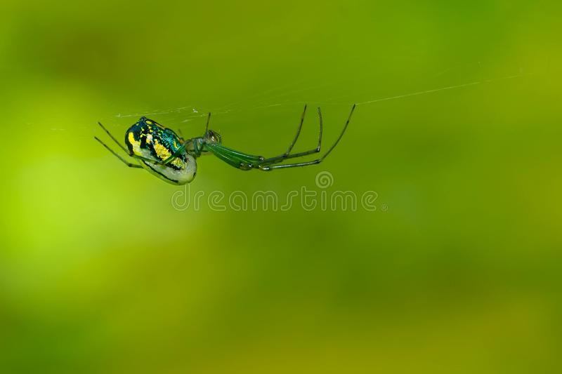Orchard Orbweaver Spider - Leucauge venusta. A female Orchard Orbweaver hangs upside down in her web waiting patiently for her next victim. Rosetta McClain royalty free stock photography