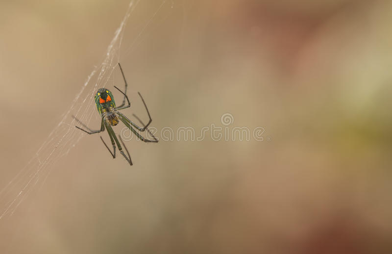 Orchard Orbweaver Spider. Macro photo of an Orchard Orbweaver spider (leucauge venusta). Copy space royalty free stock image