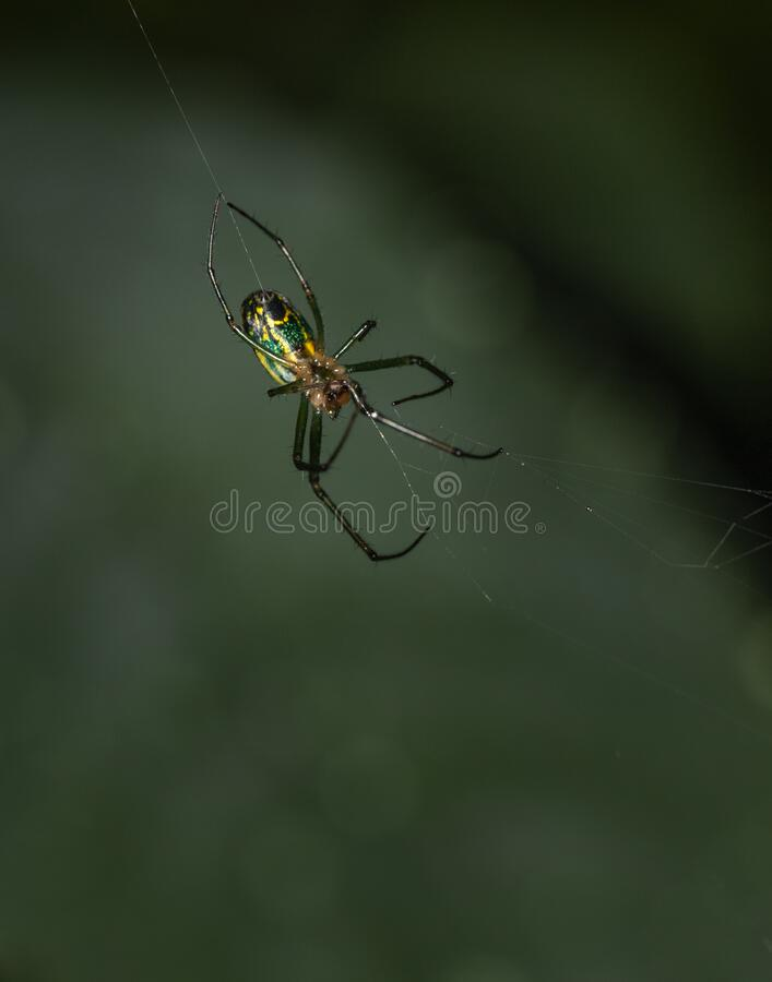 An orchard orbweaver spider shows off its aerial artistry. An Orchard Orbweaver spider dangles in mid-air while spinning its silken web stock images