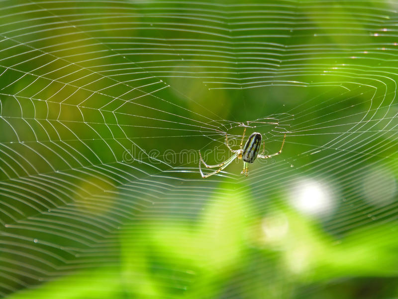 Orchard Orbweaver Spider on the web. Photo taken in Taiwan royalty free stock photo
